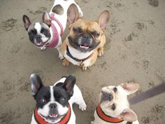 Fog City French bulldogs, Animals & Pets, San Francisco, CA 94110 - index