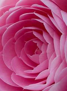 Close-up of a pink bloom of Camellia hybrid