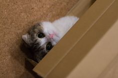 cute scottish fold cat hiding