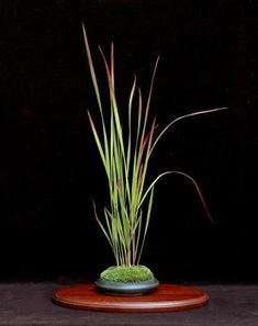 guide to photographing bonsai and kusamono. Imperata cylindrica. Pot: Kevin Thompson.