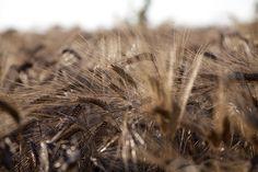 The Giansanti Di Muzio durum  wheat