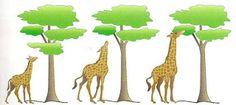 """Lamarck, gran defensor del transformismo, de acuerdo a su erróneo principio """"la necesidad crea el órgano"""", afirmaba que el cuello y las patas de las jirafas fueron creciendo al estirarlos para alcanzar las hojas de los árboles altos"""
