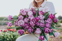 Plnokvětý fialová tulipán, ale rozhodně né ledajaký. Květy jsou obří jako tenisák, okvětní plátky žíhané, bílá přechází ve fialovou a fialová v bílou jako tahy štětcem. Na první pohled se jedn o jakousi směs barev, pravda ale je, že se u tohoto tulipánu objevuje chyba v genu, proto jsou některé kousky světlejší až bílé, jiné tmavší. Za nás děsně neotřelé a proto ho milujeme! PS: Ragebol znamená v holandštině jakýsi speciální kartáč, slibujeme, že s tím to tedy nemá vůbec nic společného.
