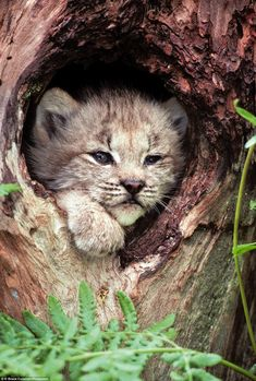 An unmissable new BBC series explores 31 of the 40 big cats breeds including many kinds of behaviour never seen before on TV. Pictured: A four-week-old Lynx kitten