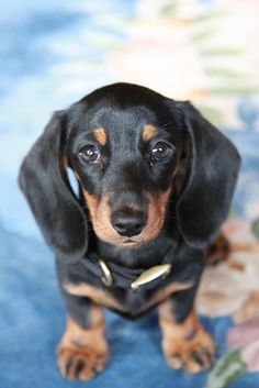 Bow the dachshund by pjpops, via Flickr