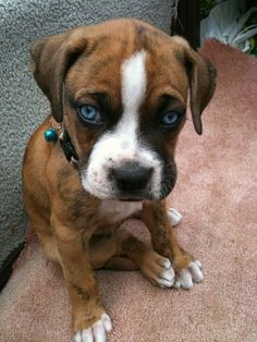This Boxer puppy is so cute and those eyes are so blue!