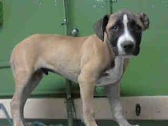 GONE --- #A4768968 I'm an approximately 4 month old male pit bull. I am not yet neutered. I have been at the Carson Animal Care Center since October 22, 2014. I am available on October 22, 2014. You can visit me at my temporary home at C338.    Carson Shelter, Gardena, California https://www.facebook.com/171850219654287/photos/pb.171850219654287.-2207520000.1414176315./318668208305820/?type=3&theater