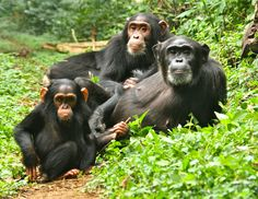 Image result for apes family