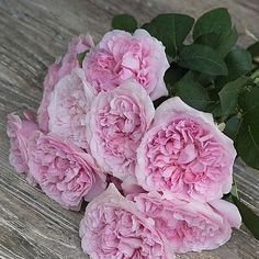 Rose Miranda - a mid pink flat peony like garden rose with a beautiful fragrance - typically David Austin ! (approx. 120 petals)