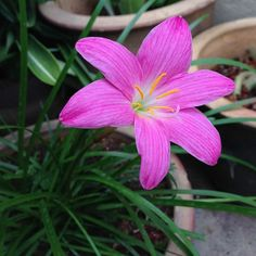 Pink rain lily or Zephyranthes rosea or Cuban zephyr lily | Flickr - Photo Sharing!