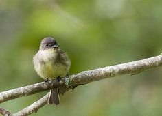 """A beautiful and tiny Eastern Phoebe, Sayornis phoebe, sits perched on a tree branch as the leaves in the background begin to change color as fall is approaching. Per allaboutbirds.org, """"In 1804, the Eastern Phoebe became the first banded bird in North America."""" A fun identifying mark for this quick and small bird is the way she flips/wags her back tail as she sits on a branch.   """"Eastern Phoebe - Sayornis phoebe"""" © by Christy Cox Photography - the beauty of nature"""