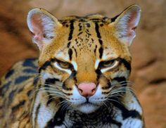 Jaguatirica, South America By:villat.I've never seen one.Are they Rare?  #animals #jaguatirica #cat #rare #nature