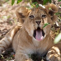 I refuse to be outworked, and I consider myself to have the heart of a lion. #lion #lions #endangeredspecies #africanlion