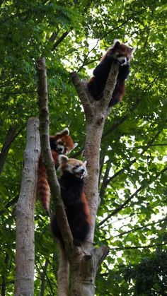 Red pandas at Chiba Zoo in Chiba prefecture, Japan.