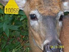 82 whitetail reference photos....eyes, ears, nose & shedding velvet