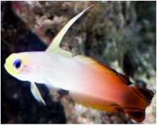 Firefish Goby