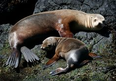 Californian Sea Lions-hanging out with mom on the rocks.