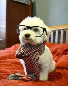 I can't...! This dog is adorable! Who put a scarf and a pair of glasses on this little cutie! I love puppies & doggies!