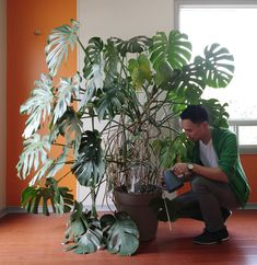 Trellis installation for Monstera deliciosa — House Plant Journal - Modern Monstera Deliciosa, Indoor Garden, Garden Plants, Indoor Plants, Faux Philodendron, Pothos Vine, Garden Ladder, Metal Trellis, Landscaping
