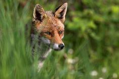 sneaky fox...
