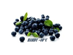 1,95 €Bilberry - Whortleberry Seeds (Vaccinium myrtillus) Price for Package of 5 seeds. Ericaceae: a low, spreading shrub, up to 2ft tall, bilberry is one of the most common plants of the moorlands and mountains, growing among the heather. The green-pink bell-shaped flowers appear from April to June and are followed in July by round blue-black berries covered with a grape-like bloom. The berries, which