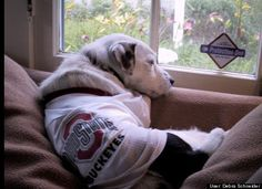Buster ponders another Buckeye victory while gazing out his front window....