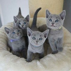 If you are looking for a truly unique and beautiful kitten you don't have to look much further than the Russian Blue breed. Delightful Discover The Russian Blue Cats Ideas. Kittens And Puppies, Cute Cats And Kittens, I Love Cats, Cool Cats, Kittens Cutest, Blue Cats, Grey Cats, Grey Kitten, Russian Blue Cat Personality