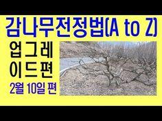 감나무가지치기방법(업그레이드편) 단감나무전정 정지 방법 - YouTube