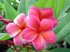 "The plumeria ""Capalaba Pink""."