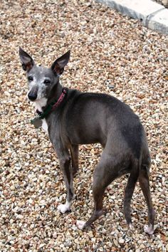 ♥♥♥♥♥♥♥WAITING OVER A YEAR! 4/14/15. Looking for her forever home over a YEAR AGO! #Austin #Texas (area). Ms. SABLE is an #Adoptable, youthful 12 years old female #Italian Greyhound. Sable is spayed, current on shots, house trained and can use a doggie door as well. Iggys a are very loving dogs and crave human companionship often. She would be great for someone who is home bound and gets along well with other pets (as long as they are behaved). Follow the link for more info. She was pinned y...