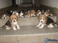 8 beagle pups, only 3 are awake..just barely..typical
