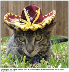 Cat wearing sombrero