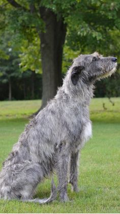 Arklow the Irish Wolfhound