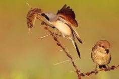 Neuntöter. Er ist vor allem durch sein Verhalten bekannt, Beutetiere auf Dornen aufzuspießen und in Mitteleuropa die häufigste Würgerart. Zu seiner Nahrung zählen vorwiegend Großinsekten, aber auch kleine Säugetiere und Vögel. In großen Teilen Europas und dem westlichen Asien heimisch, brütet er in halboffenen Landschaften, die ein gutes Angebot an Hecken und Sträuchern aufweisen. Die Nester werden bevorzugt in Dornsträuchern angelegt.
