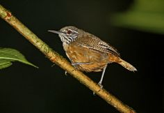 Cantorchilus leucopogon (Stripe-throated Wren)
