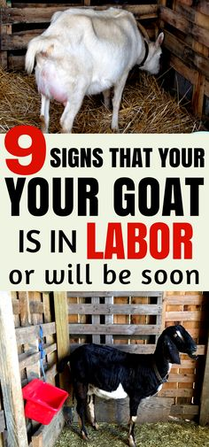 Raising Goats for Beginners: Learn how to tell if your goat in in labor- or close to kidding with these 9 signs. | Breeding Goats | Raising Goats | Goat Health