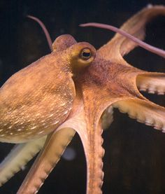 Like goats, octopuses have unusual, rectangular pupils. One of the coolest things about an octopuss eyes is their ability to rotate and maintain a horizontal position, no matter what other position or angle the octopus' body moves in. Octopus Eyes, Octopus Art, Ocean Creatures, Strange Creatures, Life Aquatic, Underwater Life, Sea World, Underwater Photography, Ocean Life