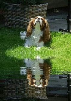 Reflections - Cavalier
