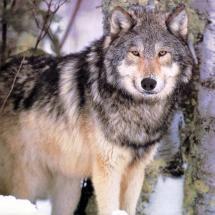 handsome wolf