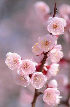 Prunus mume. Japanese apricot blossoms. photo: snowshoe hare*.