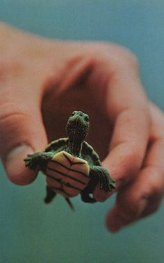Tiny Turtle. Perhaps one day when he becomes a teenager, He'll mutate into a ninja! Xo coop giggled!