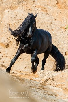 Friesian stallion Reinder uté Reiden