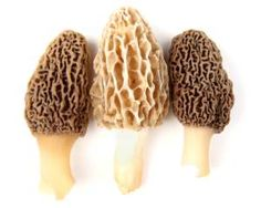 Morel mushroom hunting is a storied and cherished pastime. If you& lucky enough to know where to hunt and what to look for you& be deliciously rewarded! Fried Morel Mushroom Recipe, Moral Mushrooms, Wild Mushrooms, Stuffed Mushrooms, Edible Mushrooms, Mushroom Grow Kit, Mushroom Stock, Mushroom Hunting, Mushrooms