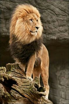 The King of the jungle. It is looking at Tarzan who is coming to kill it but it is not dumb it is thinking how to deceive him and run away.