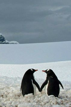 """funkysafari: """" """"I took this picture at Port Lockroy during my trip to Antartica. The two penguins almost touching flippers, looking at each other, and captured against the majestic frozen background, seemed romantically involved."""" by Marius Ilies """" Animals And Pets, Baby Animals, Funny Animals, Cute Animals, Penguin Love, Cute Penguins, Beautiful Birds, Animals Beautiful, Mundo Animal"""