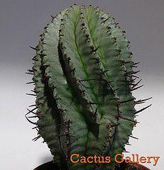 Euphorbia horrida Cactus Gallery