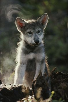 A portrait of a seven-week-old gray wolf pup, Canis lupus. Beautiful Wolves, Animals Beautiful, Cute Animals, Wolf Spirit, Spirit Animal, All About Wolves, Canis Lupus, Wolf Stuff, Wolf Pup
