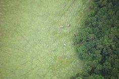 Survol de Wonga-Wongué, Gabon. Elephants vus du ciel