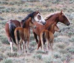 Wild Horses of the Calico Mountains