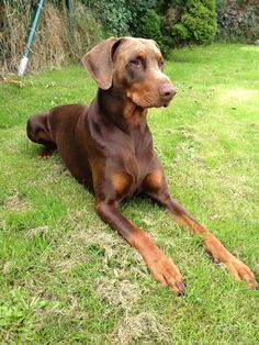 Dobermans are #3 in the countdown of the top 10 most banned dog breeds. Frankly, I'm not sure why as I have known quite a few Dobermans and they have all been sweethearts, not ferocious or scary in the least.  The Doberman Pinscher is actually one of the newer dog breeds, having first been developed during the 1890s. They started out being bred to be guard dogs, which is why many people still believe they are a more dangerous breed. I remember when I used to think they were mostly…